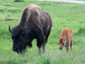 Wood bison 05