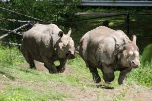 Indian Rhino 09