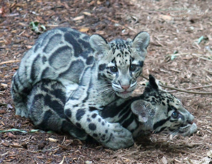 05 clouded leopards May