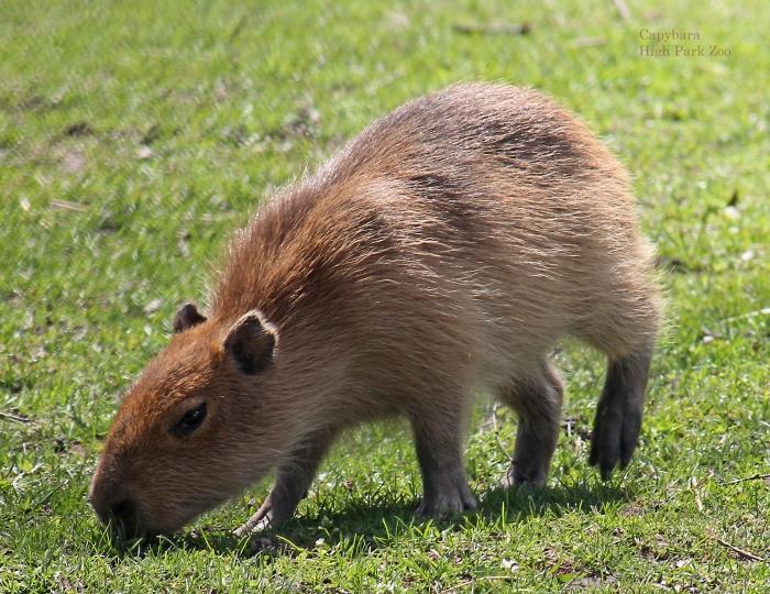 06 capybara June