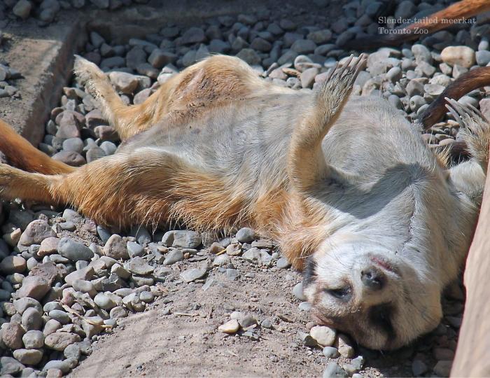 06 Meerkat June