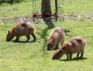 Capybaras HP 01 calendar