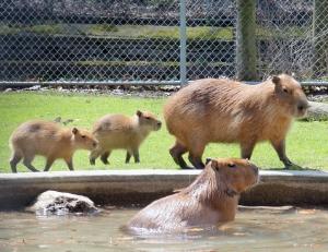 Capybaras HP 08 calendar