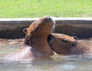 Capybaras HP 11 calendar