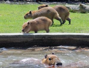Capybaras HP 14 calendar