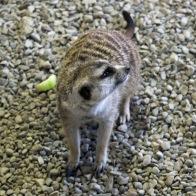 Meerkat looking askance
