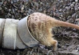 Meerkats 3
