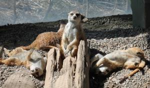 Meerkats 5
