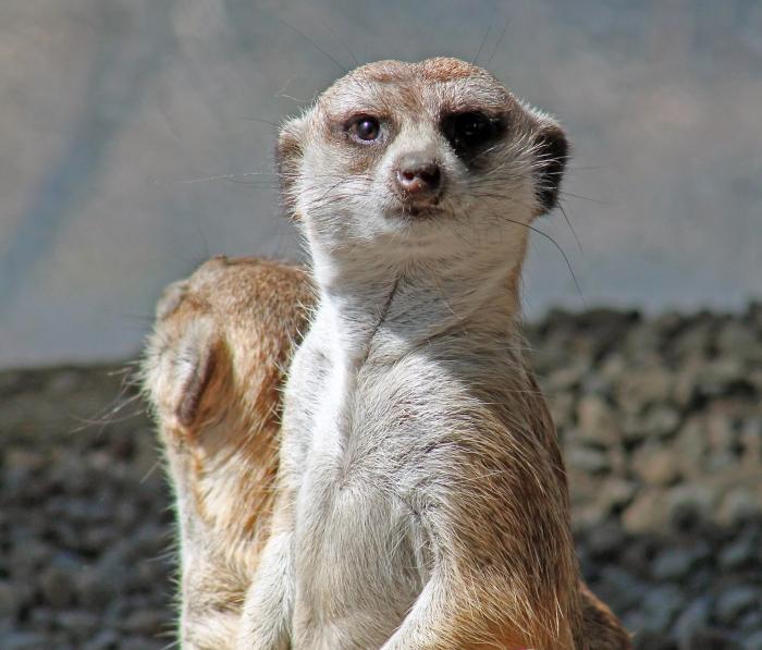Meerkats 7