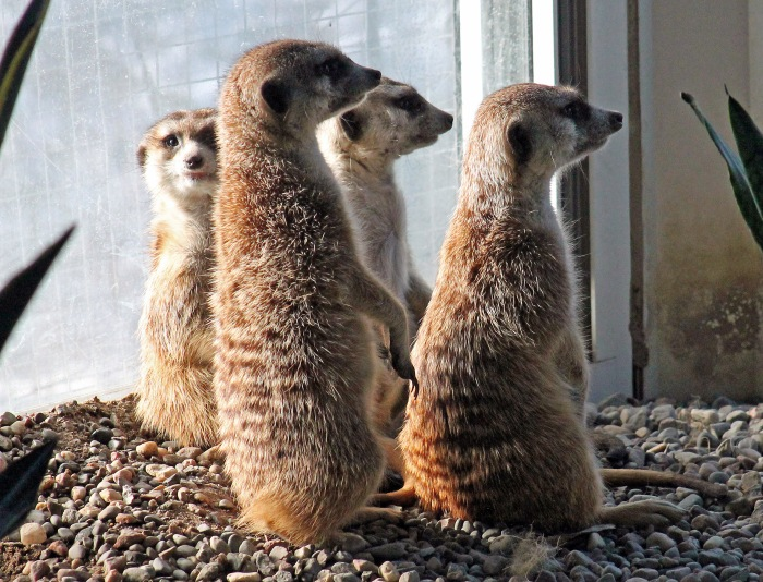 Meerkats on guard
