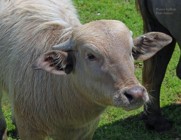 07 water buffalo July