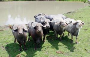 Water buffalo 02