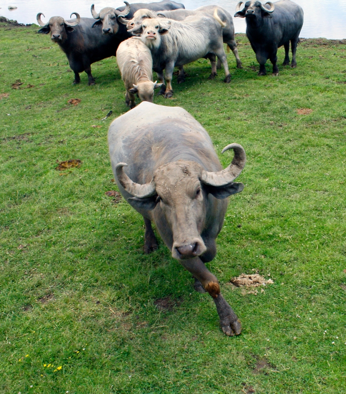 Water buffalo 06.jpg