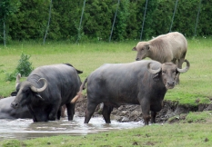 Water buffalo 11