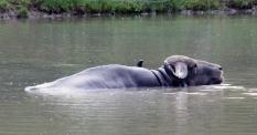 Water buffalo 12