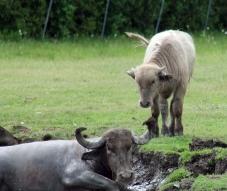 Water buffalo 15