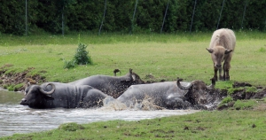 Water buffalo 17