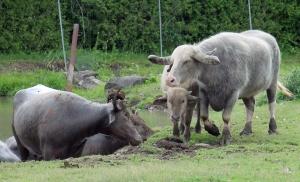 Water buffalo 24