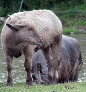 Water buffalo 28