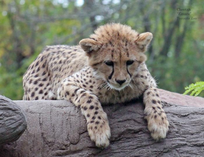 08 cheetah August