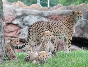 Cheetah cubs 01 calendar