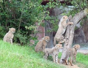 Cheetah cubs 02 calendar