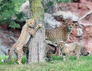 Cheetah cubs 03 calendar