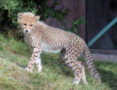 Cheetah cubs 06 calendar
