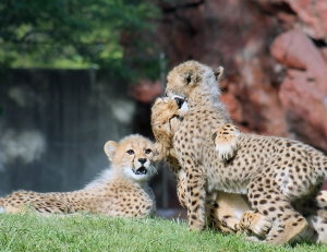Cheetah cubs 08 calendar