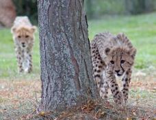 Cheetah cubs 10 calendar