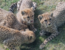 Cheetah cubs 11 calendar