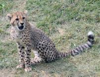 Cheetah cubs 13 calendar