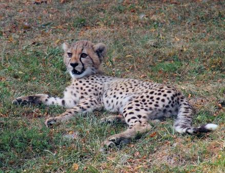 Cheetah cubs 14 calendar