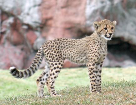 Cheetah cubs 15 calendar