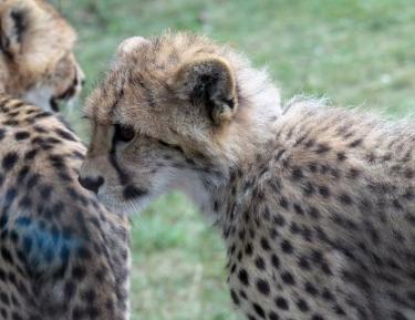 Cheetah cubs 17 calendar