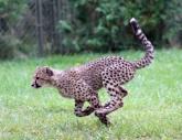 Cheetah cubs 20 calendar