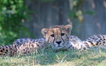 Cheetahs 01
