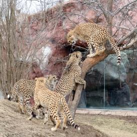 Cheetahs 05