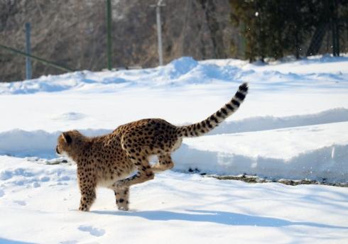 Cheetahs 07