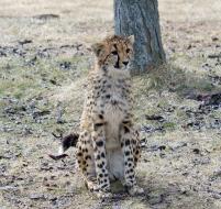 Cheetahs 08