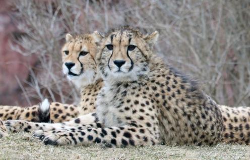 Cheetahs 10