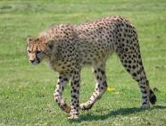 Cheetahs 13