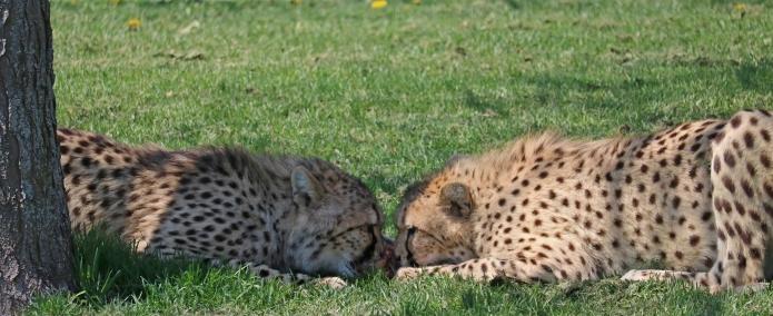 Cheetahs 14