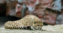 Cheetahs 19