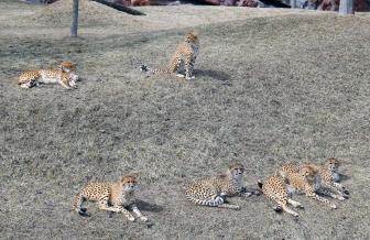 Cheetahs 20