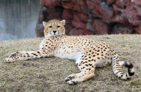 Cheetahs 25