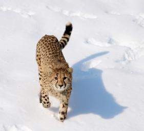 Cheetahs 27