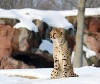 Cheetahs 31