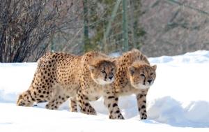 Cheetahs 34