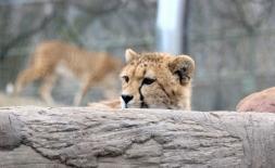 Cheetahs 35